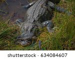 Small photo of Alligator/Alligator with her baby alligators in the marsh