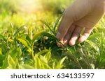 fresh tea leaf picking hand... | Shutterstock . vector #634133597