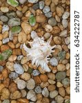 Small photo of Vertical Image of Natural Branched Murex Shell on the Pebble Stone Ground