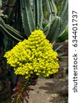Small photo of Yellow Flower Cluster on a Aeonium arboreum succulent. Huntington Library park, Pasadena, USA.
