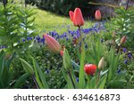 Flowering Spring Bulbs In The...