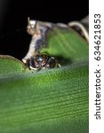 Small photo of Brown and black Jumping spider (salticidae) sitting on a leaf, Pietermaritsburg, South Africa