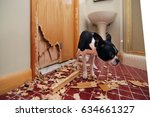 Small photo of A tiny Boston terrier puppy chews a hole in the bathroom door in an attempt to escape