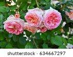 closeup of pink rose flowers | Shutterstock . vector #634667297