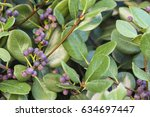 Cotoneaster Plant