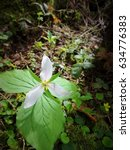 Small photo of White trillium blossom in the deep forest