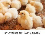 Young Yellow Baby Chicks On A...