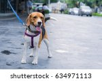 Stock photo taking beagle dog for a walk in the city 634971113