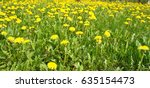 Yellow Dandelions Field....