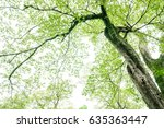 camphor tree in the forest | Shutterstock . vector #635363447