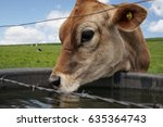Cow Drinking Water Behind A...