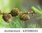beautiful larch cones and... | Shutterstock . vector #635588243