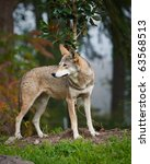 Small photo of Red Wolf