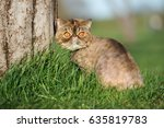 Exotic Shorthair Cat Sitting O...