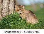 Exotic Shorthair Cat Sitting O...