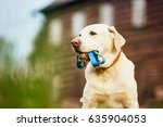 Stock photo cute dog labrador retriever with leash is waiting for walk in front of the house 635904053