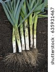 Small photo of Freshly lifted leeks, allium porrum, in a vegetable garden, variety Musselburgh.