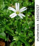 Small photo of Addersmeat (Stellaria holostea) Greater stitchwort