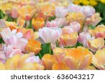 Pink Tulips Flower Background.