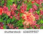 Pink Orange Rhododendron Bush...