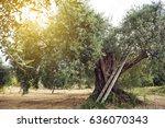 olive tree garden....   Shutterstock . vector #636070343
