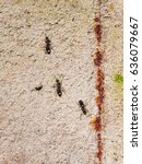 Small photo of Ants lasius nigra trail on concrete wall of house, close-up, selective focus, shallow DOF.