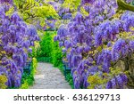 Wisteria Flowers In Park....