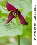 Small photo of The red trillium is found in woodlands and is also known as a stinking Benjamin.