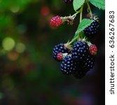 Picture Of Blackberries...