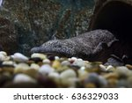 A Chinese Giant Salamander...