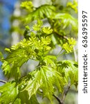 Small photo of Blooming Norway Maple or Acer platanoides, flowers with blurred background macro, selective focus, shallow DOF.