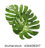 two tropical jungle monstera... | Shutterstock . vector #636608347