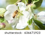 honey bee collects nectar on... | Shutterstock . vector #636671923