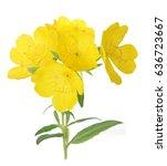 yellow primrose oenothera... | Shutterstock . vector #636723667