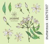 collection of jasmine  flower... | Shutterstock .eps vector #636751507