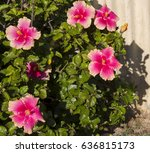 carmine  pink suffused with...   Shutterstock . vector #636815173