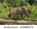 A Jaguar  Panthera Onca ...