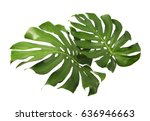 two tropical jungle monstera... | Shutterstock . vector #636946663