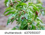 detail of peach leaves with...   Shutterstock . vector #637050337