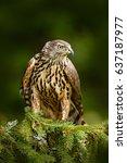 Goshawk On The Tree. Hawk From...