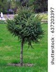 Young Green Fir Tree Growing I...