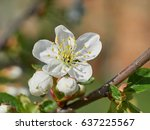White Cherry Flowers On The...