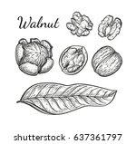walnuts set. ink sketch of nuts....