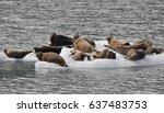 group of seals on ice in alaska | Shutterstock . vector #637483753