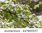 snow on the bushes in may ... | Shutterstock . vector #637805557