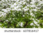 snow on the bushes in 11 may... | Shutterstock . vector #637816417