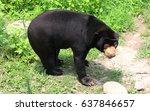 malayan sun bear is existing... | Shutterstock . vector #637846657