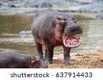 common hippopotamus in the... | Shutterstock . vector #637914433