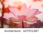 beautiful pink waterlily or