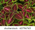 Floral Background Of Coleus ...